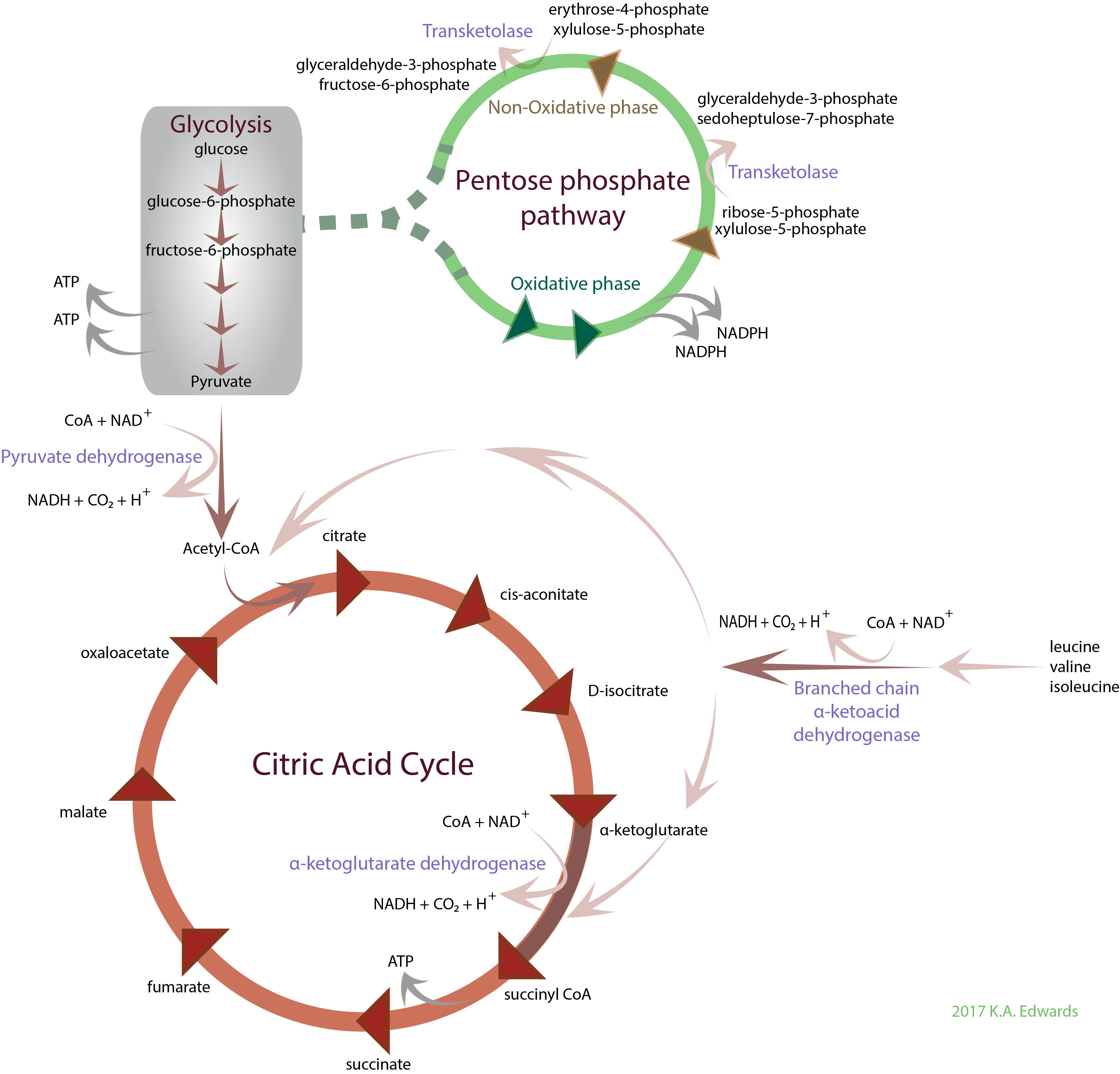 Thiamine Biochemistry